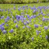 Sugar Land Bluebonnets
